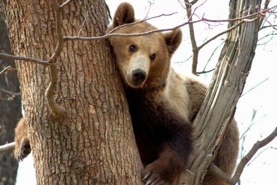 Villanypásztorokkal oldaná meg a medvekérdést a környezetvédelmi miniszter
