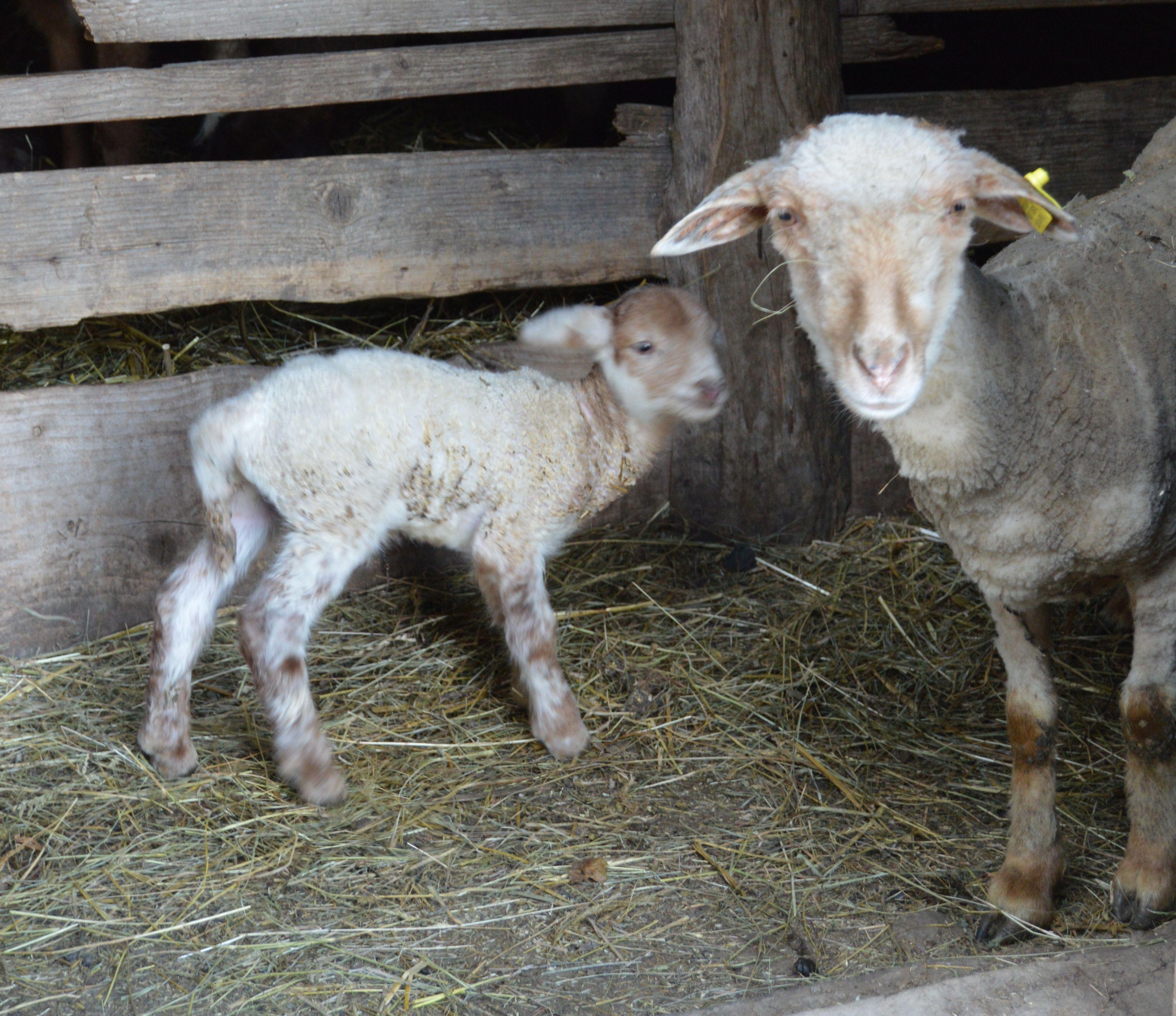 Drágább lesz idén a bárány