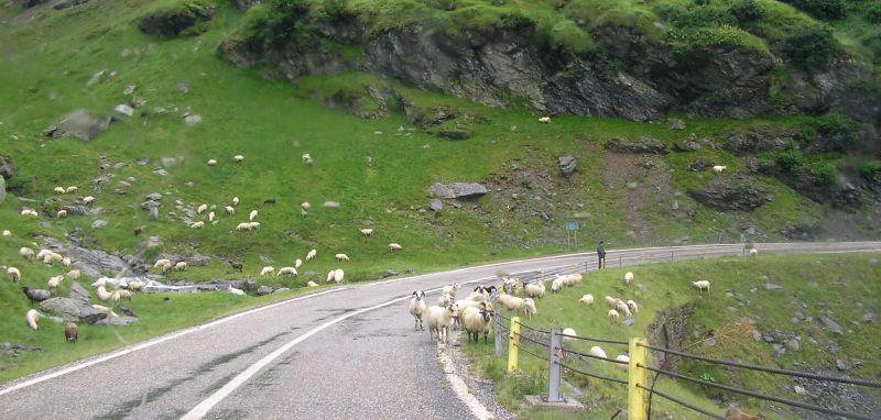 Egyre több a juh és a kecske Romániában