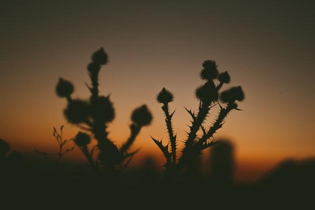 Borsos bírság jár a parlagfű ki nem irtásáért