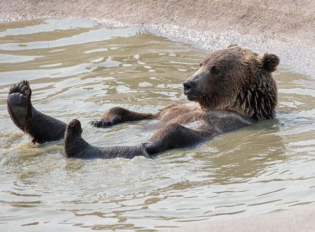 Akut medvebaj